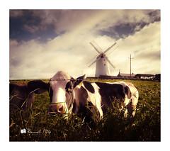 Good Mooning from Ballycopeland (RonnieLMills 7 Million Views. Thank You All :)) Tags: hss sliderssunday cow field ballycopeland windmill millisle county down northern ireland