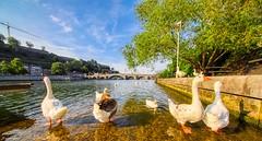 Les Oies - 6896 (✵ΨᗩSᗰIᘉᗴ HᗴᘉS✵62 000 000 THXS) Tags: oies bird animal goose water bridge hdr belgium europa aaa namuroise look photo friends be yasminehens interest eu fr party greatphotographers lanamuroise flickering canonrp