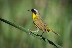 Common Yellow-throat (Eric Gofreed) Tags: arizona commonyellowthroat sycamorecanyon tapcorecreationalarea warbler yavapaicounty