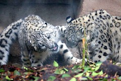 What you looking at? (law_keven) Tags: menageriezoodeplantes zoo menagerie paris france animals bigcats leopard wildlife wildlifephotography photography leopards snowleopard cats animalphotography
