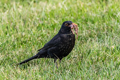 Food Shopping! (Linda Martin Photography) Tags: dorset male wildlife turdusmerula nature bird dudsburygolfclub uk blackbird naturethroughthelens coth coth5 alittlebeauty specanimal ngc npc