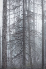 Lost (Bill Ferngren) Tags: wood mist tree silhouette fog fairytale forest landscape treetrunks mysticism mysteriousness nature fir firtree