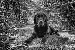 good way (uwe.kast) Tags: labrador labradorretriever labradorredriver hund haustier dog wald wood way panasonic lumix leica leicadg1260f2840