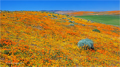 California Poppies (Sandra Lipproß) Tags: californiapoppy poppies california antelopevalley superbloom nature landscape spring orange blue sky outdoor outside usa united states westcoast