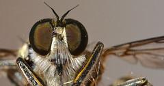 Asilidae mosca predatrice . #macro #macrophotography #macrophotographylove #macrophoto #macroshot #macronature #macro_highlight #macros #macrolife #amazing #photooftheday #kings_macro #kings_insects #insect_of_our_world #animalplanet #macroworld (m4rc01cs) Tags: photooftheday macro macros kingsmacro insectofourworld macrohighlight kingsinsects amazing macronature macrophoto macrophotography animalplanet macrolife macroshot macroworld macrophotographylove
