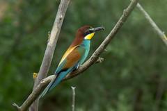 Bienenfresser (planetvielfalt) Tags: deutschland aves sachsenanhalt meropidae coraciiformes