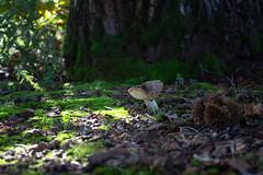 Mundo en miniatura (Virug5) Tags: setas nature naturaleza mushroom smallworld mundoenminiatura moss musgo