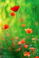 _DSC6680 (kymarto) Tags: bokeh bokehlicious bokehphotography dof depthoffield flowers flowerphotography nature naturephotography beauty beautiful sony sonyphotography sonya7r2 oldlens vintagelens poppies floral