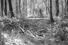 Exit (Listenwave Photography) Tags: blackandwhite forest sigma bnw foveon lakhta лахта dp3m listenwave переход переправа помостье photography свет природа лес береза светлый влесу лучезарный лахтинской ручей путь explorelakhta