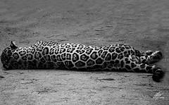 Black spots (Amy Charlize) Tags: amycharlize focosocial jaguar spots feline blackandwhite cat canon