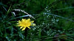 Löwenzahn am Rasenrand (dl1ydn) Tags: dl1ydn garden löwenzahn dandelion konica hexanon 40mmf18 manual manuell altglas jpeg