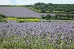 Purple Fields (Far West Tim) Tags: phacelia fields agriculture marazion cornwall uk