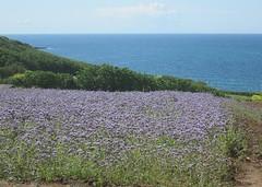 Purple Fields, Deep Blue Sea (Far West Tim) Tags: phacelia agriculture coast coastline marazion cornwall uk