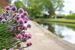 Chives (simon edge) Tags: chesterfieldcanal d5100 55300mm msice stitched plant chives alium nikon