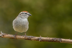 Bruant familier/Chipping sparrow (jean-francoislavallée) Tags: oiseau bird aves bruantfamilier chippingsparrow quebec canada nature wildlife nikon sigma