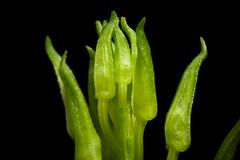[Okayama, Japan / 岡山県] Liparis krameri fma. alba Franch. & Sav., Enum. Pl. Jap. 2: 509 (1878) (sunoochi) Tags: 素心 リパリス アルバ orchidlover flowers plants nature ラン 岡山県 anggrek orquideas 植物 krameri 似我蜂草 plantmorphology ジガバチソウ alba liparis クラメリ orchidspecies 蘭 species okayama green orchid botany japan orchids