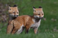 Red Fox Kits (mikestreicher) Tags: foxkits redfoxkits kits