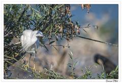 Odyssée macédonienne : l'Aigrette perchée. (C. OTTIE et J-Y KERMORVANT) Tags: nature animaux oiseaux aigrette aigrettegarzette lac macédoine grèce