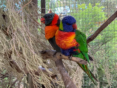Lovebirds at Victor Harbour (Marian Pollock) Tags: iphone animalfarm victorharbour blue orange green birds pair australia perched colourful southaustralia parrots