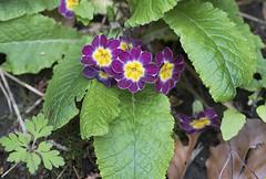 False Oxlip (Primula veris x vulgaris) (macronyx) Tags: nature blommor flower växt växter flowers plants plant trädgårdsviva oxlip falseoxlip primula primulaverisxvulgaris