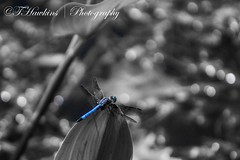 Dragonfly (Hawkins1977) Tags: canonphotography wildlife photography canon nature beauty pond blackandwhite dragonfly