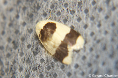 Garudinia sp. (GeeC) Tags: noctuoidea lithosiini cambodia kohkongprovince nature arctiinae arthropoda tatai garudinia insecta animalia lepidoptera erebidae butterfliesmoths tigermoths