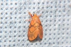 Barsine cruciata (GeeC) Tags: noctuoidea lithosiini cambodia animalia barsinecruciata nature arctiinae lepidoptera tatai kohkongprovince insecta barsine arthropoda erebidae butterfliesmoths tigermoths