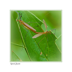 Accouplement (jaworskigg) Tags: accouplement insectes macro macrophotographie