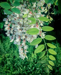Black Locust (PEEJ0E) Tags: wild white locust black chinese flower spring leaves tree bush