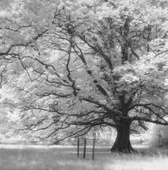 Oak (schoeband) Tags: oak eiche einchenwitwald oakgrove bw mediumformat 120 hasselblad500cm moerschmzb schlosswildenstein wildenstein bubendorf basellandschaft schweiz suisse svizzera switzerland