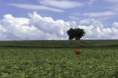 poppy (alamond) Tags: tree lonelytree field wheat poppy sky clouds red grain fiatpanis canon 7d markii mkii llens ef 1740 f4 l usm alamond brane zalar