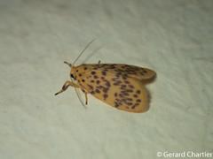 Lyclene obsoleta (GeeC) Tags: noctuoidea lithosiini cambodia kohkongprovince tatai lyclene arctiinae lepidoptera nature lycleneobsoleta insecta animalia arthropoda erebidae butterfliesmoths tigermoths