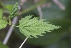 Kerria (Kerria japonica) (macronyx) Tags: nature blommor flower växt växter flowers plants plant kerria kerriajaponica