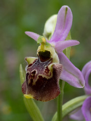 Late Spider Orchid (François dt) Tags: em1markii olympus nature flower wildflowers orchids