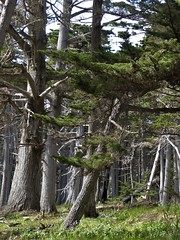 Monterey Peninsula, CA, 17-Mile Drive, Crocker Grove of Cypress Trees (Mary Warren 13.6+ Million Views) Tags: montereypeninsula 17miledrive crockergrove nature flora plants trees cypresstrees green