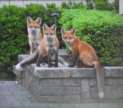 The Trio. (Peter Granka) Tags: redfox fox foxkits