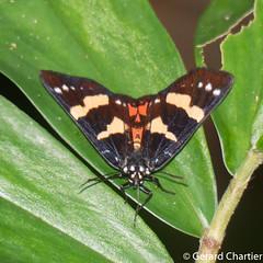 Episteme sp. (GeeC) Tags: noctuoidea animalia episteme nature agaristinae lepidoptera arthropoda kohkongprovince cambodia insecta tatai erebidae butterfliesmoths