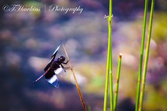 Widow Skimmer Dragonfly (Hawkins1977) Tags: canonphotography canon photography wildlife nature beauty blackandwhite dragonfly widowskimmerdragonfly