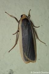 Brunia sp. (GeeC) Tags: noctuoidea lithosiini cambodia animalia nature arctiinae arthropoda tatai kohkongprovince insecta lepidoptera brunia erebidae butterfliesmoths tigermoths