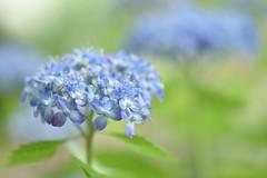 "wild hydrangea, ""Mikawa-chidori"" (snowshoe hare*(catching up)) Tags: dsc1024 hydrangea flowers flower wildhydrangea 山紫陽花 三河千鳥"