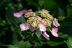Spring Sunshine (Gregg Southard NC) Tags: festivalpark flowers hydrangeas manteo northcarolina outerbanks roanokeisland spring