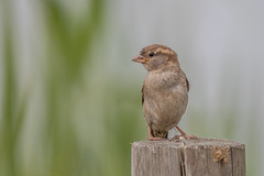 House Sparrow (Juv) (Linda Martin Photography) Tags: housesparrow dorset wildlife nature bird passerdomesticus juvenile longhamlakes uk animal naturethroughthelens coth alittlebeauty coth5 ngc