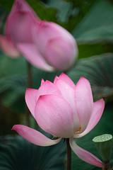 DSC01468 (RamaWangFlickr) Tags: 台北植物園 20190609 sonya7m2 minoltaafreflex500mmf8 荷花 蓮 lotus