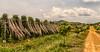 Poivre de Kampot - La plantation (StefSup) Tags: 35mm 35mmf14dghsm|a poivrerouge redpepper poivrier laplantation kampot cambodge cambodia liane pipernigrum blackpepper igp