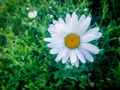 A Daisy Or Two (PEEJ0E) Tags: spring flower wild daisy
