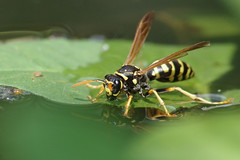 IMGP8593 (PahaKoz) Tags: лето природа сад summer nature garden фауна насекомое оса жара вода пруд fauna insect wasp heat water pond macro макро