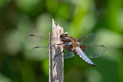 Broad-bodied Chaser (Male) (cabalvoid) Tags: woodland male wild wildlife dragonfly chaser water lincolnshire lincoln nature wildlifelake broadbodied
