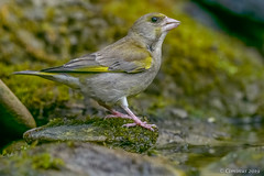 Greenfinch. (Ciminus) Tags: naturesubjects aves ornitology nature ciminus birds verdone ciminodelbufalo garden greenfinch wildlife oiseaux chlorischloris afsnikkor300mmf28gedvrii nikond500 uccelli ornitologia