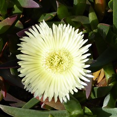Monterey Peninsula, CA, 17-Mile Drive, Succulent Flower (Mary Warren 13.6+ Million Views) Tags: montereypeninsula 17miledrive nature flora plants green white bloom blossom flower