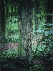 Creeping (Andy Stones) Tags: tree trees woods woodland foliage trunk bark parkland leaf branches nature naturephotography naturelovers natureseekers centralpark scunthorpe lincolnshire northlincolnshire northlincs nlincs outdoors outside photography photoof
